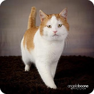 Domestic Shorthair Cat for adoption in Eagan, Minnesota - Cheeks