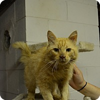 Domestic Shorthair Cat for adoption in Mt. Airy, North Carolina - Sawyer