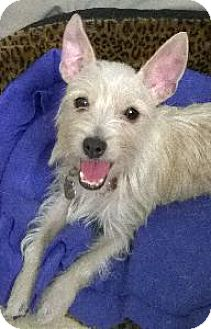 Chihuahua/Wirehaired Fox Terrier Mix Puppy for adoption in Richardson, Texas - Sabrina