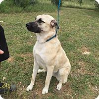 Anatolian Shepherd Mix Dog for adoption in Kerrville, Texas - Annaloo