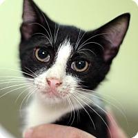 Adopt A Pet :: Romanoff - New York, NY