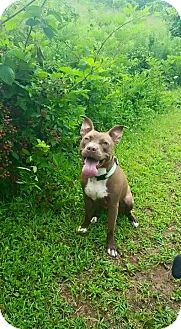 American Pit Bull Terrier Dog for adoption in Raeford, North Carolina - Luna