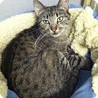 Domestic Shorthair Cat for adoption in Philadelphia, Pennsylvania - Amelia
