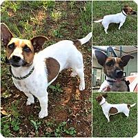 Adopt A Pet :: Caroline - Lindale, TX