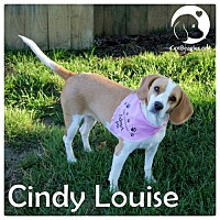 Adopt A Pet :: Cindy Louise - Pittsburgh, PA
