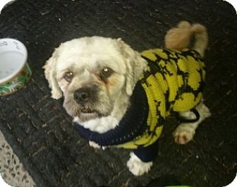 Lhasa Apso Dog for adoption in Polson, Montana - Sammy