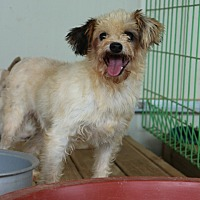 Shih Tzu/Yorkie, Yorkshire Terrier Mix Dog for adoption in Oakton, Virginia - Prada