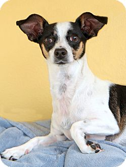 Jack Russell Terrier Mix Dog for adoption in Encinitas, California - Casey