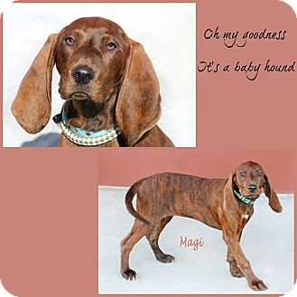 Plott Hound Mix Puppy for adoption in Idaho Falls, Idaho - Magi