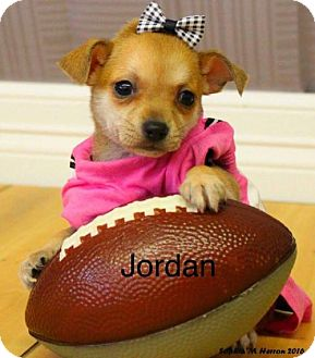 Chihuahua Mix Puppy for adoption in Shreveport, Louisiana - Jordan