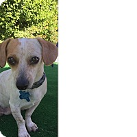 Adopt A Pet :: Rudolph - Palm Desert, CA