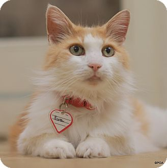 Domestic Mediumhair Cat for adoption in East Hartford, Connecticut - Eva