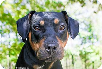 Rottweiler Mix Dog for adoption in Jacksonville, North Carolina - Nancy