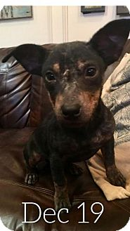 Dachshund Mix Dog for adoption in Longview, Texas - Rocky