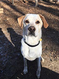 Labrador Retriever/Hound (Unknown Type) Mix Dog for adoption in Walden, New York - Drone