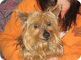 Yorkie, Yorkshire Terrier Dog for adoption in Greenville, Rhode Island - Janelle