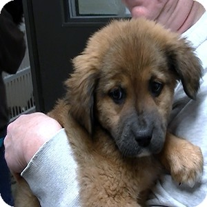 German Shepherd Dog/Golden Retriever Mix Puppy for adoption in baltimore, Maryland - Sabrina