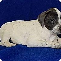 Adopt A Pet :: Sprinkles - Brattleboro, VT