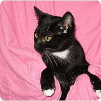 Adopt A Pet :: Sylvester - Sterling Hgts, MI