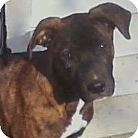 Adopt A Pet :: Savanna - Toledo, OH