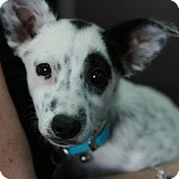 Adopt A Pet :: Patches - Canoga Park, CA