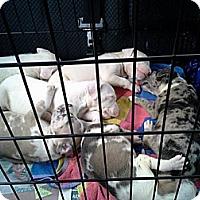 Adopt A Pet :: 4 Puppies - Memphis, TN