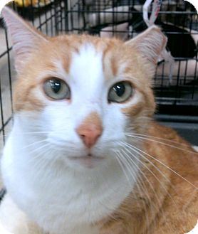 Domestic Shorthair Cat for adoption in Madisonville, Louisiana - Rusty