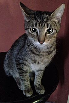 Domestic Shorthair Cat for adoption in Dallas, Texas - Newt