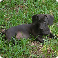 Adopt A Pet :: Sierra - Ormond Beach, FL