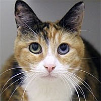 Adopt A Pet :: Patches - Pacific Grove, CA
