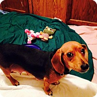 Adopt A Pet :: Sweetness - Groton, MA