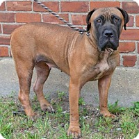 Adopt A Pet :: Akeelah - Virginia Beach, VA