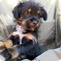 Adopt A Pet :: Vice - Austin, TX