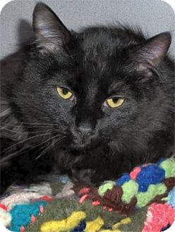 Domestic Longhair Cat for adoption in Waupaca, Wisconsin - Jett