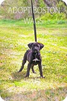 Labrador Retriever Mix Puppy for adoption in Wagoner, Oklahoma - Boston