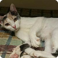 Calico Cat for adoption in Macon, Georgia - Hope