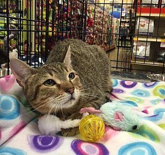 Domestic Shorthair Cat for adoption in San Antonio, Texas - Alice