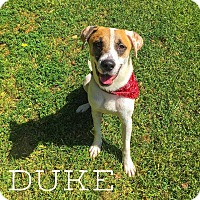 Adopt A Pet :: Duke - Austin, TX