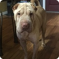 Adopt A Pet :: Remington - Gainesville, FL