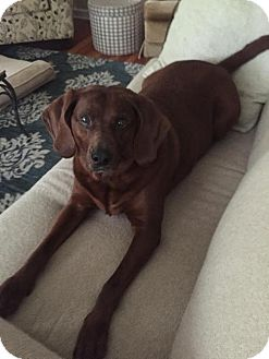 Redbone Coonhound Dog for adoption in St Paul, Minnesota - Bella