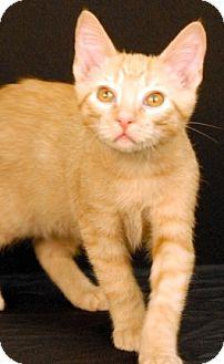 Domestic Shorthair Cat for adoption in Newland, North Carolina - Wonton