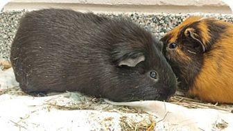 Guinea Pig for adoption in Boston, Massachusetts - BATMAN