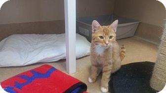 Domestic Shorthair Kitten for adoption in Cumming, Georgia - Cheeto