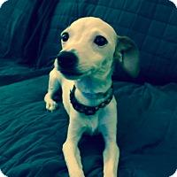 Italian Greyhound/Chihuahua Mix Dog for adoption in New York, New York - Agnes!