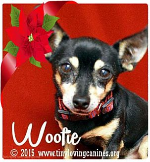 Chihuahua Dog for adoption in Simi Valley, California - Woofie