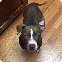 Adopt A Pet :: Maple Syrup - Dayton, OH