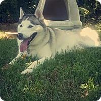 Adopt A Pet :: Tarus - Mocksville, NC