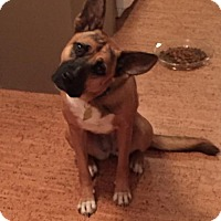 Shepherd (Unknown Type)/Boxer Mix Dog for adoption in Von Ormy, Texas - Lola(Wendy)
