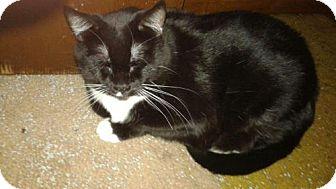 Domestic Mediumhair Cat for adoption in Bloomingdale, Illinois - Liz