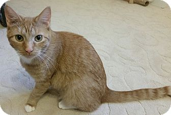 Domestic Shorthair Kitten for adoption in Garland, Texas - Scarlett